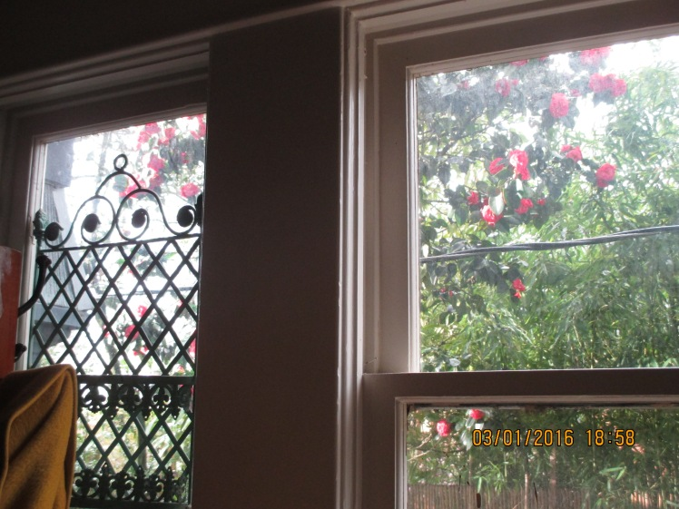 Camelias, living room window